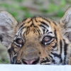 Thumbnail image for Are Thailand's Tiger Farms Ethical?