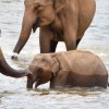 Thumbnail image for Pinnawala Elephant Orphanage