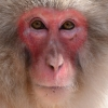 Thumbnail image for Monkeying Around in the Japanese Alps
