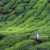 Thumbnail image for Are the Cameron Highlands Worth a Trip?