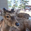 Thumbnail image for Japan's Most En-deer-ing Day Trip