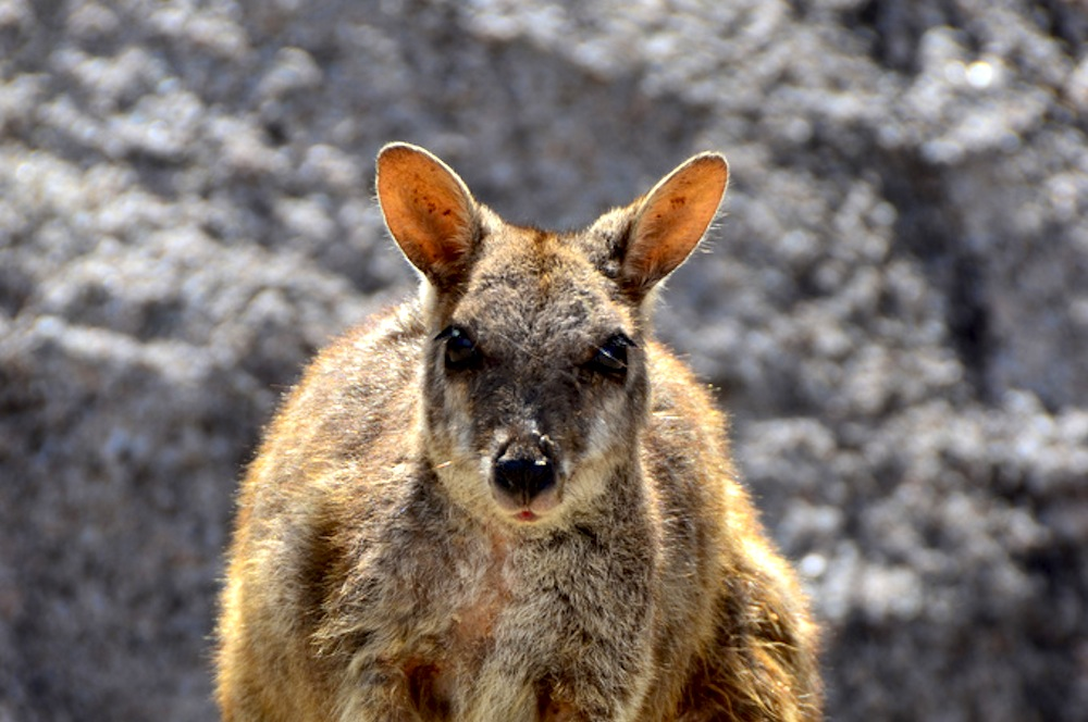 Rock Wallaby in Magnetic Island, Australia
