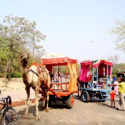 Camel in Agra India