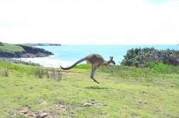 Hop 6982719677 l1 252x167 Kangaroos on the Beach in Australia