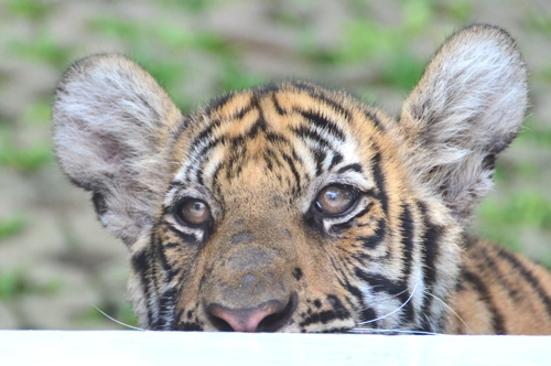 Tiger Tourism Thailand Are Thailands Tiger Farms Ethical?
