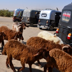Goats and Tuk Tuks in Luxor Egypt
