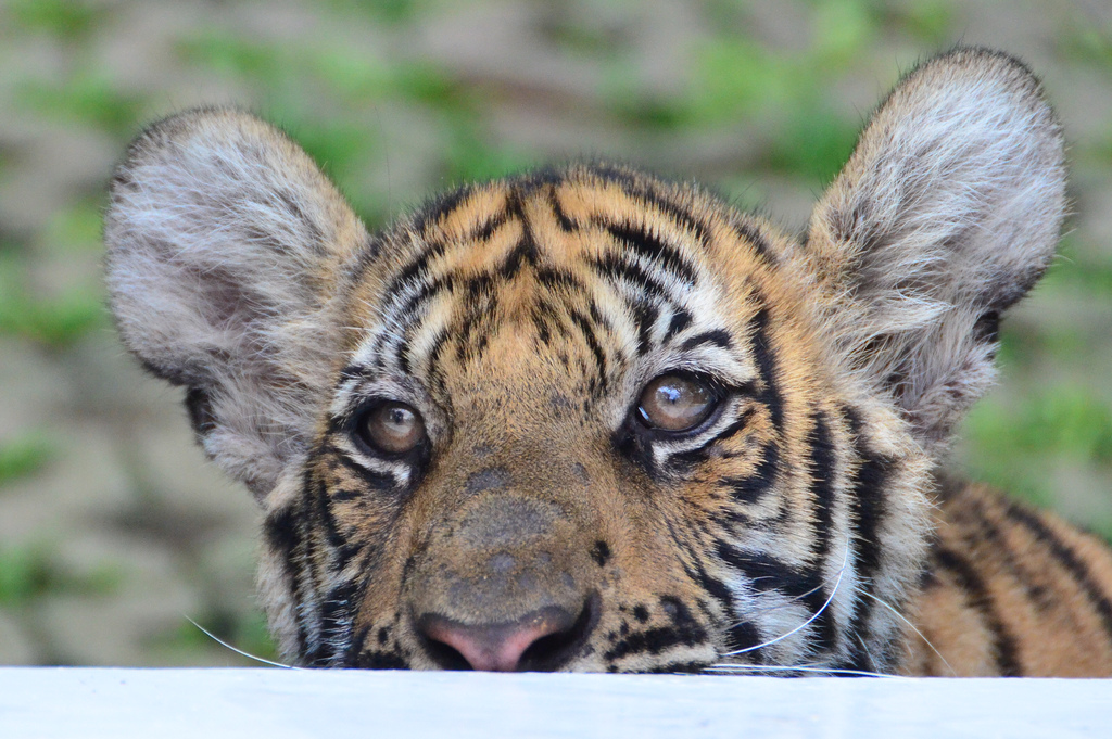Tiger in Captivity1 2012 in Review    and a 2013 Preview