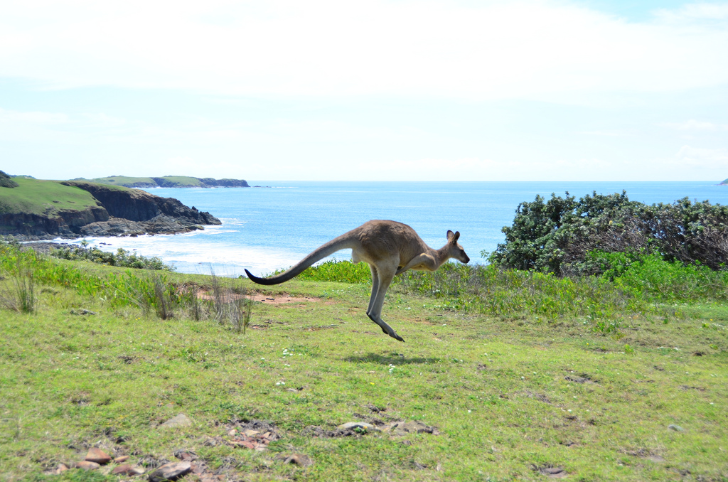 A kangaroo hopping along the sea in New South Wales