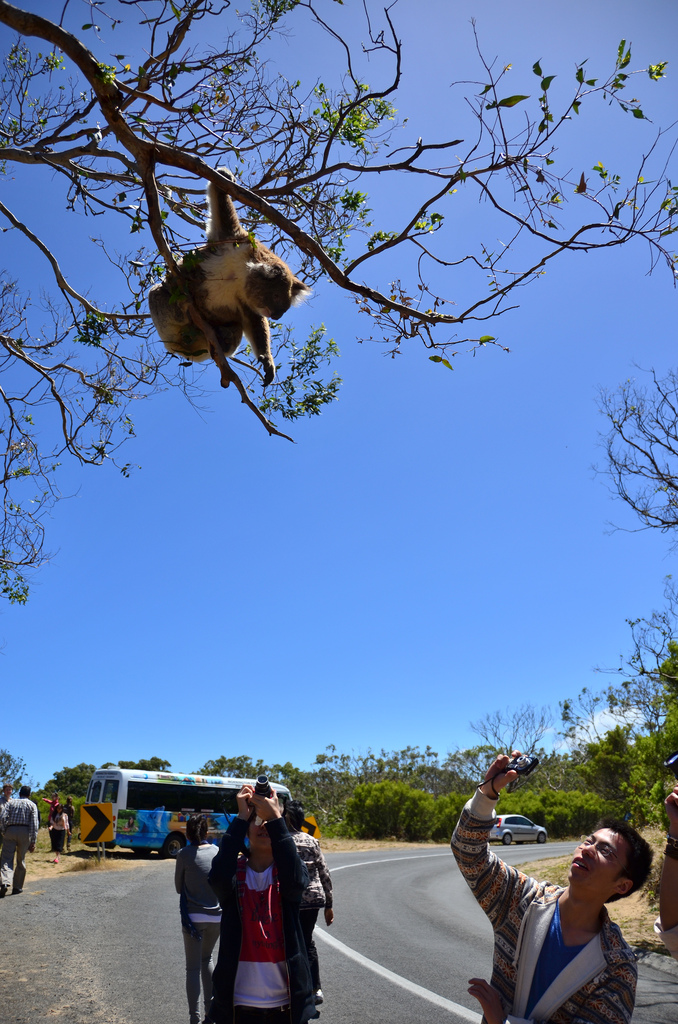 You can catch a glimpse of a koala almost anywhere in Australia