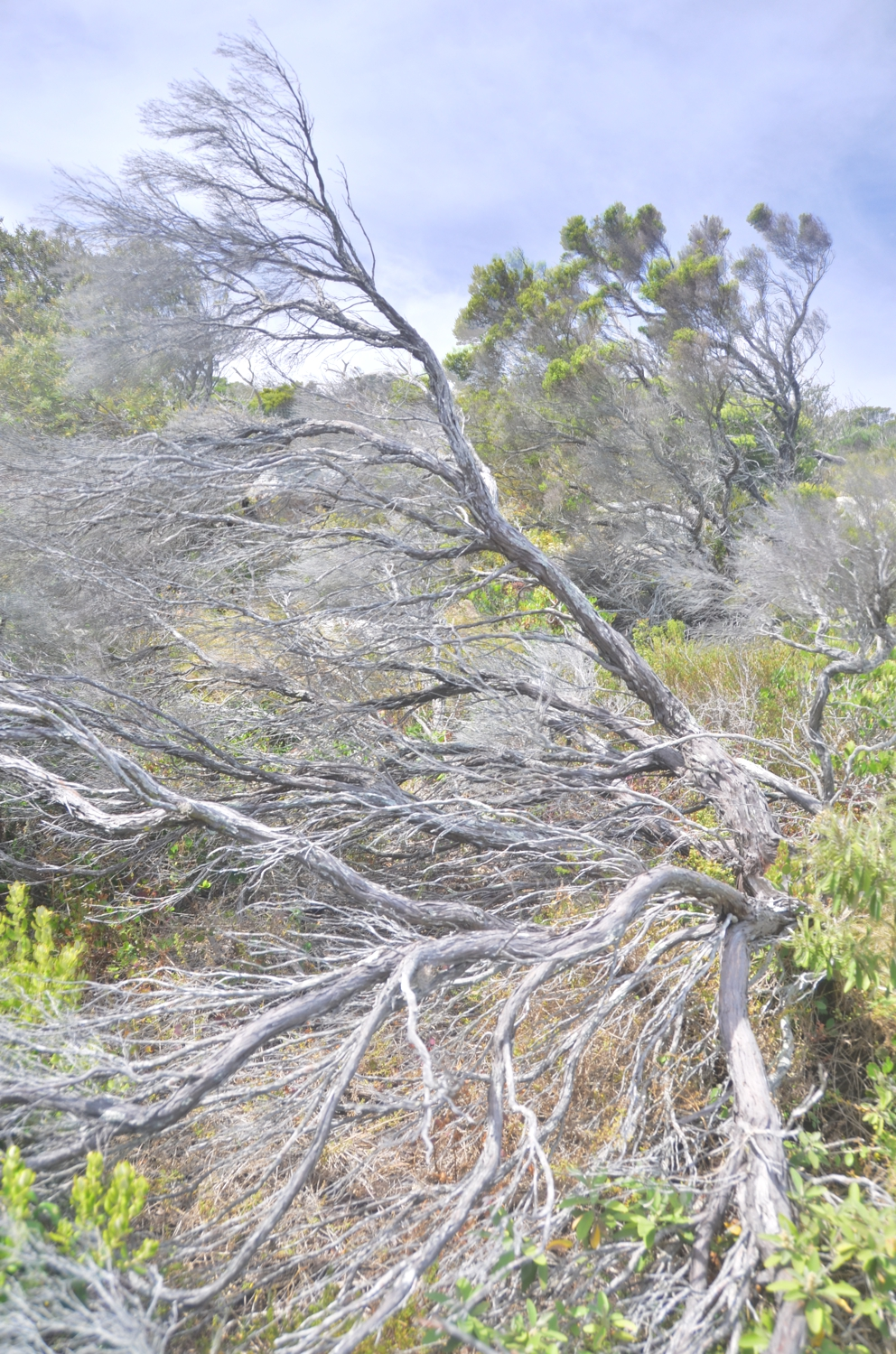 The trees and shrubs near the Cape of Good Hope bear the scars of high winds, which are often gale-forced