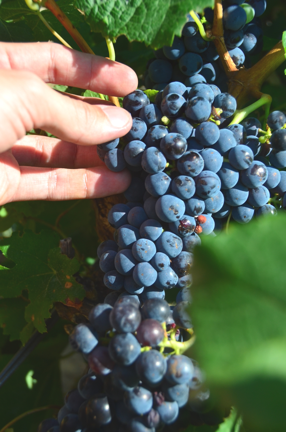 One of my favorite parts of any wine tour is roaming through vineyards – and eating grapes!