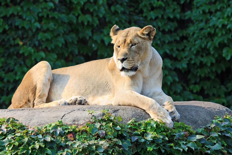 A lioness at the Lincoln Park Zoo