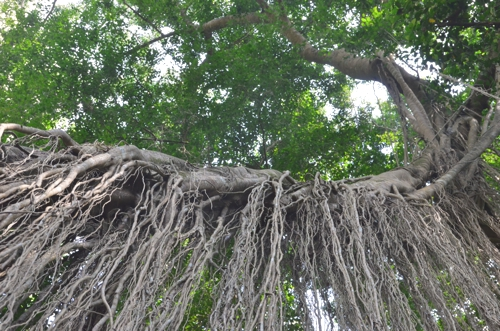 The Sacred Monkey forest is also home to trees of a pretty sacred variety