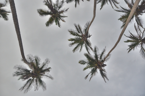 Palm Tress in Colombia