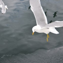 Seagulls in Norway Fjords