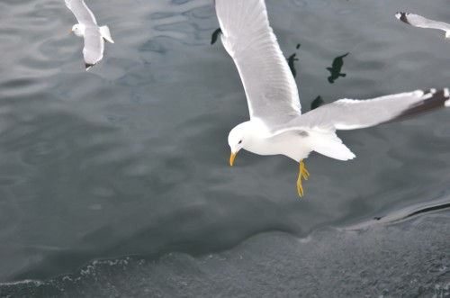 Seagulls in Norway