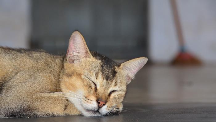 Cat in Sri Lanka