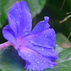 Morning-Glory-Wet-in-Rain