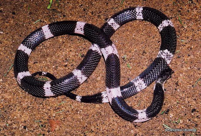 Common Krait in Sri Lanka