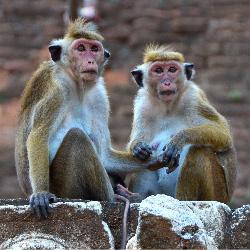 Sri Lanka Monkeys