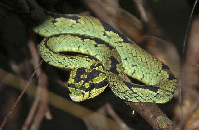 A Green Pit viper in Sri Lanka