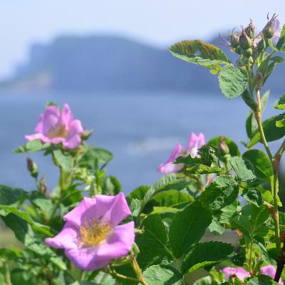 Forillon Park Roses