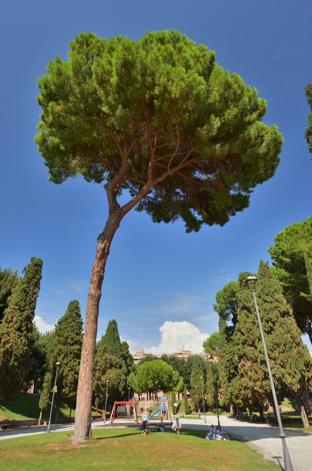 Pine tree in Rome, Italy