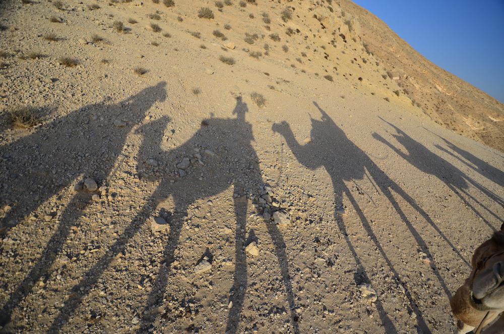 Camels in Israeli desert
