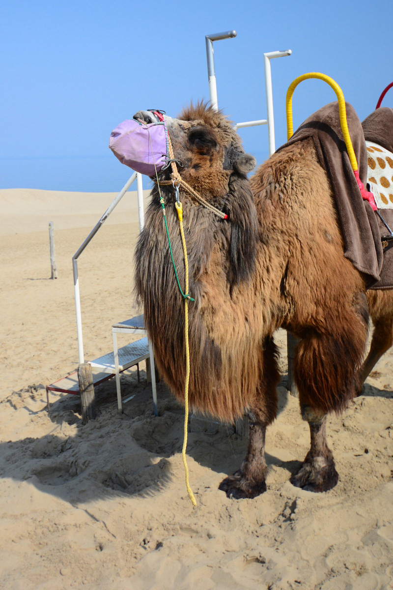 Camel in desert in Tottori, Japan
