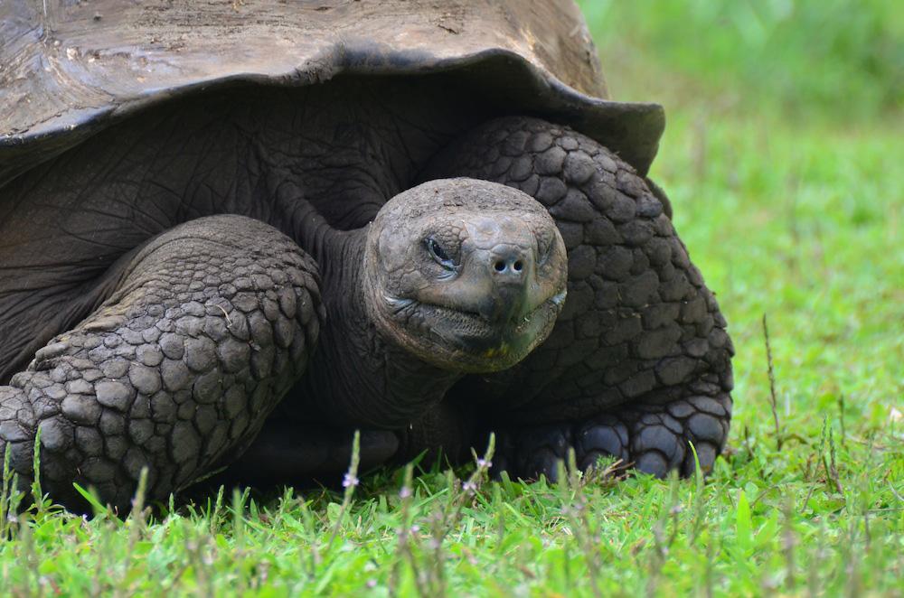 Ecuador Tortoise