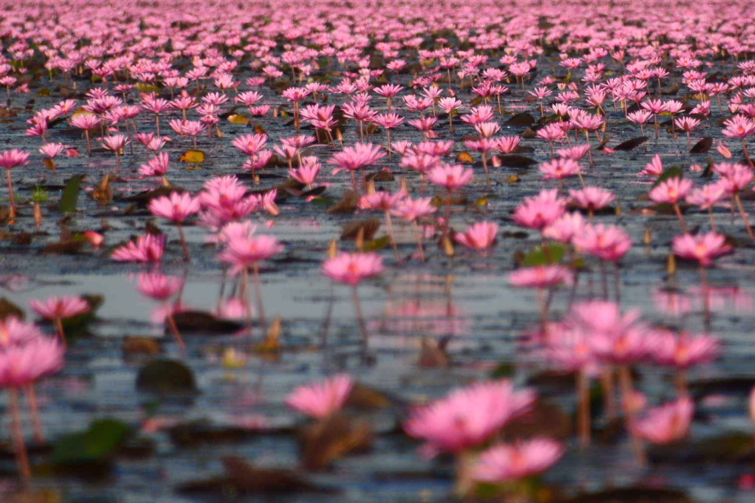 Thailand's Red Lotus Sea, For All Things Pink