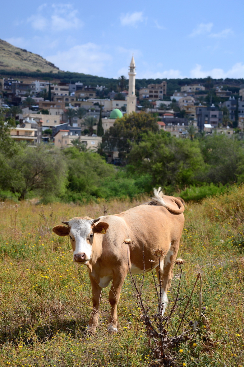 Cow in front of Bedouin village in the Galilee