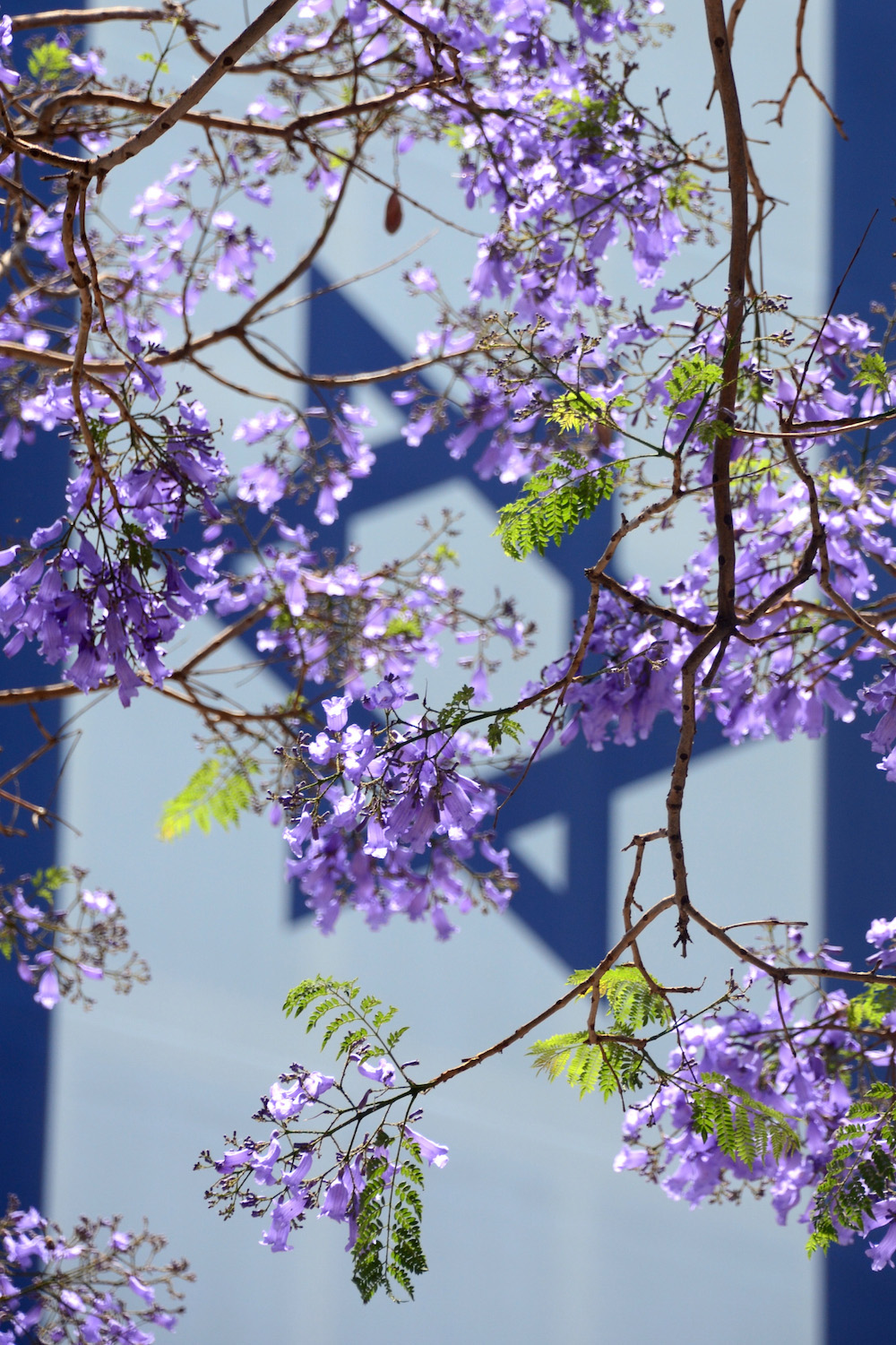 Jacaranda blossoms in front of Israel flag