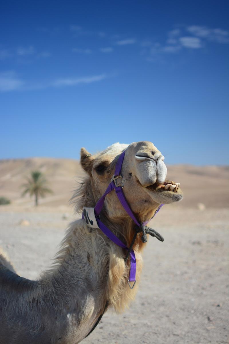 Tel Aviv Israel camel