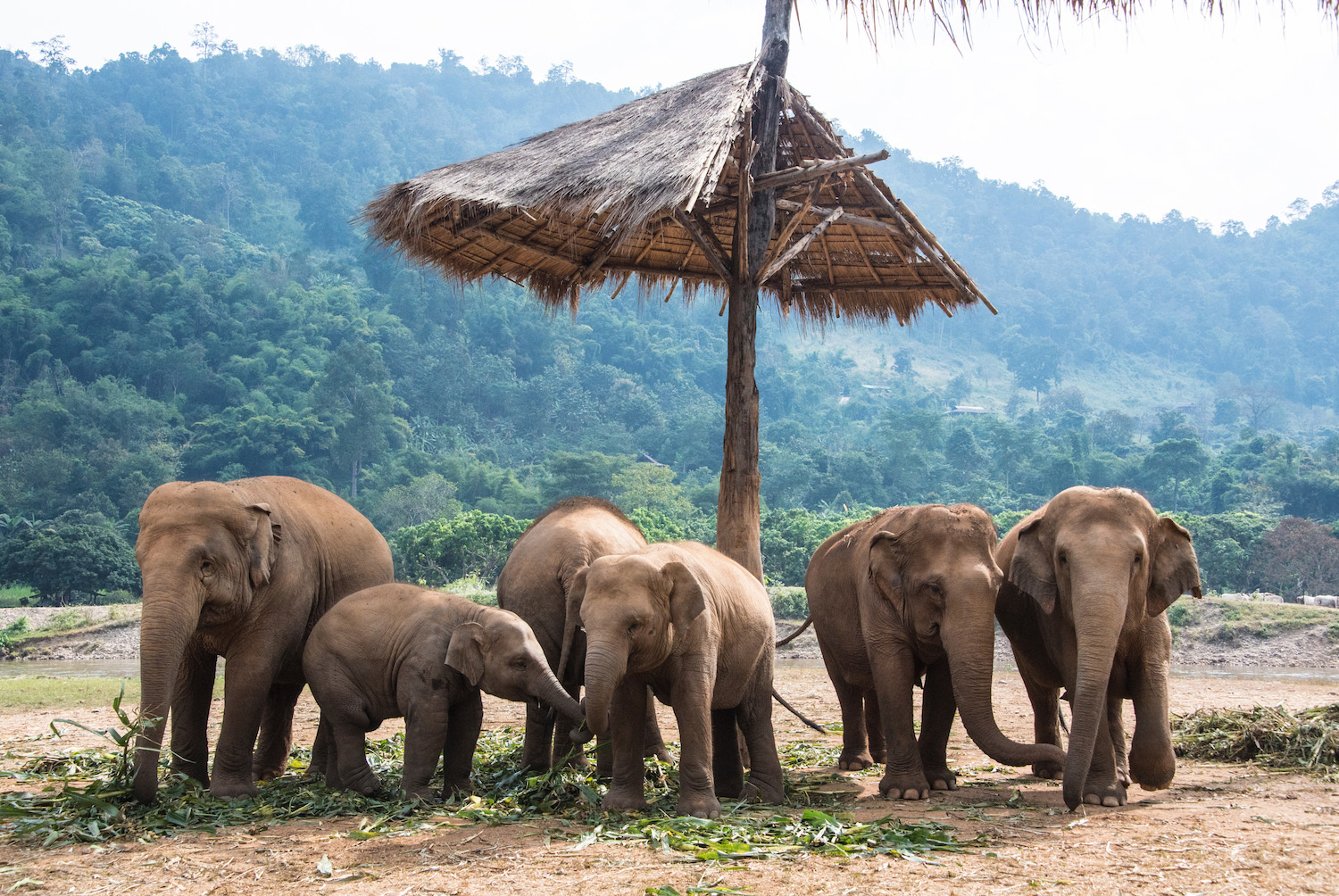 Chiang Mai elephants in Thailand