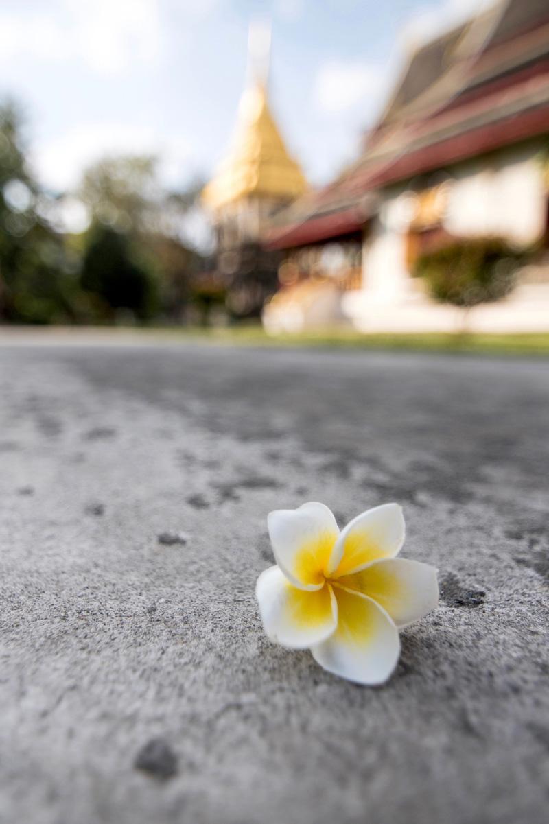 Chiang Mai Frangipani