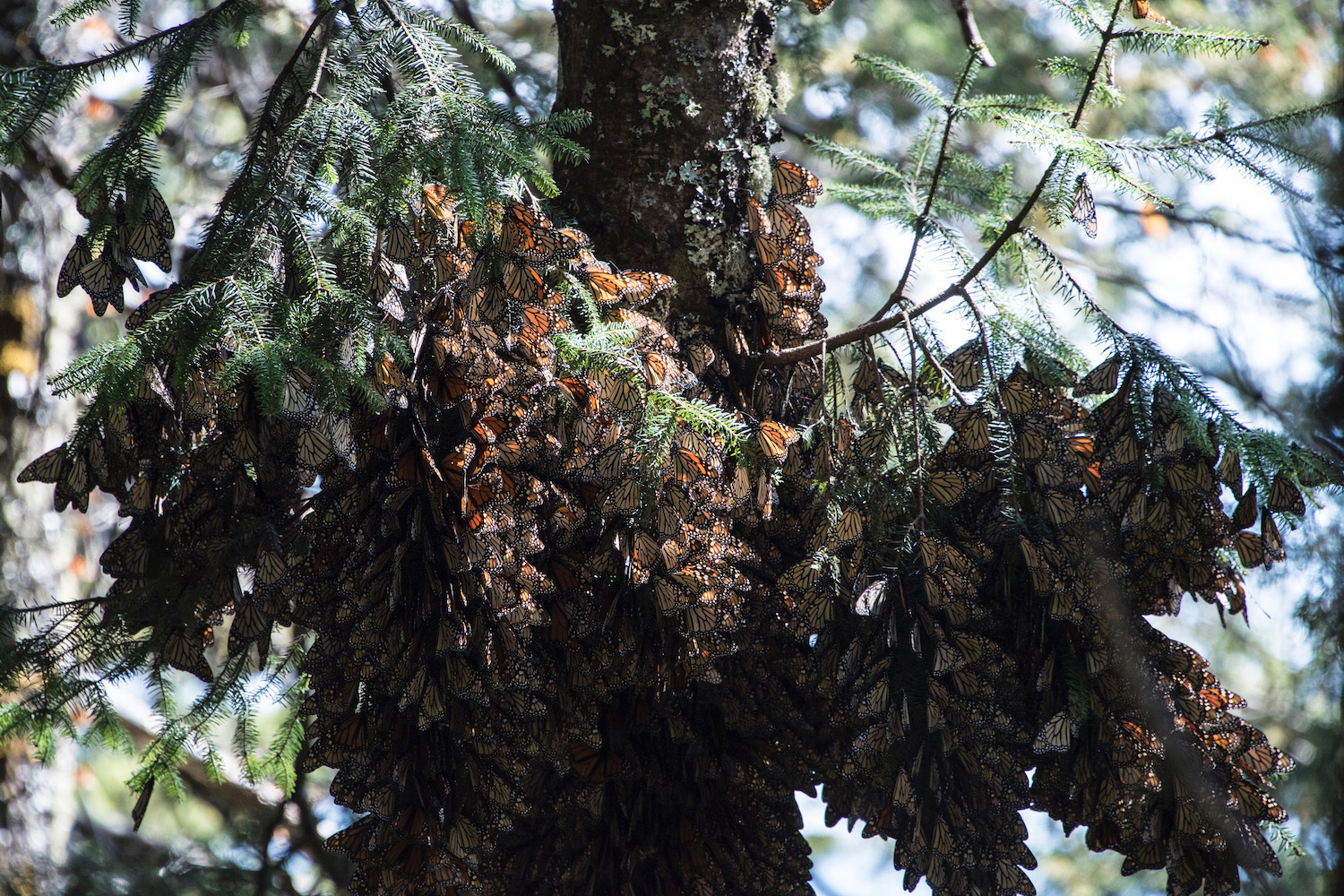 A monarch butterfly colony at Mexico's Cerro Pelon Biosphere