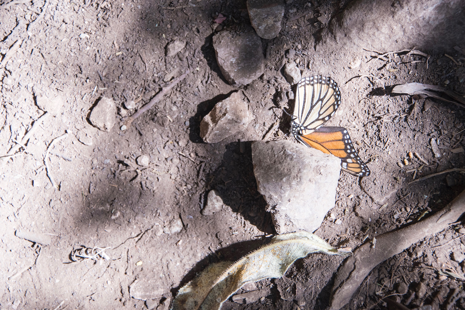A dead monarch at Cerro Pelon biosphere in Mexico