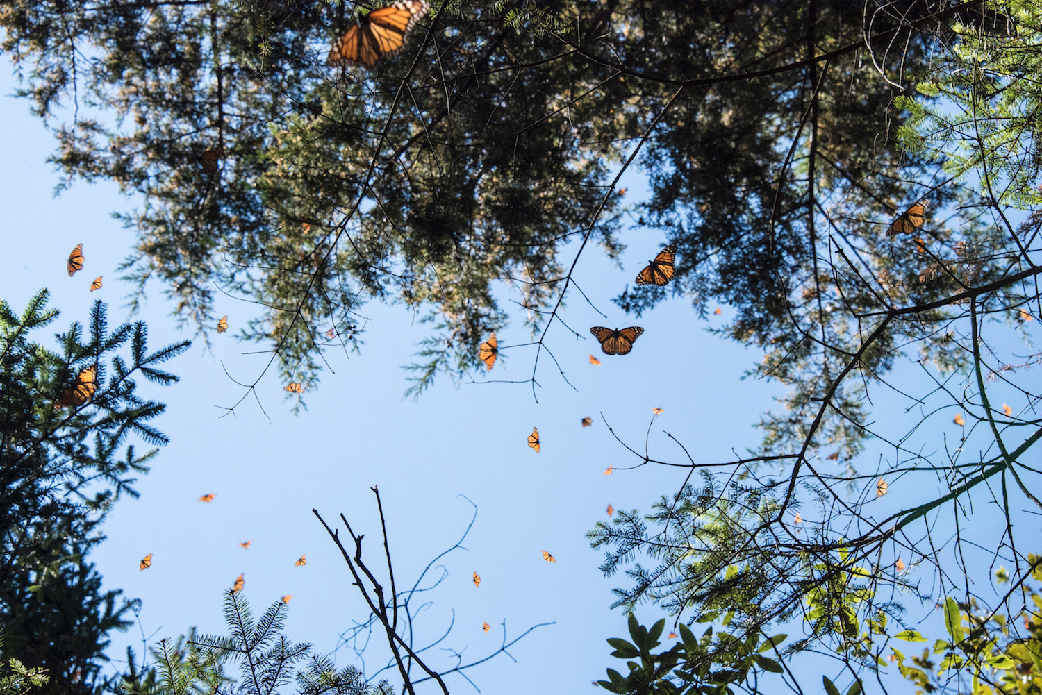 Monarch butterflies fill the sky over Mexico's Cerro Pelon Biosphere