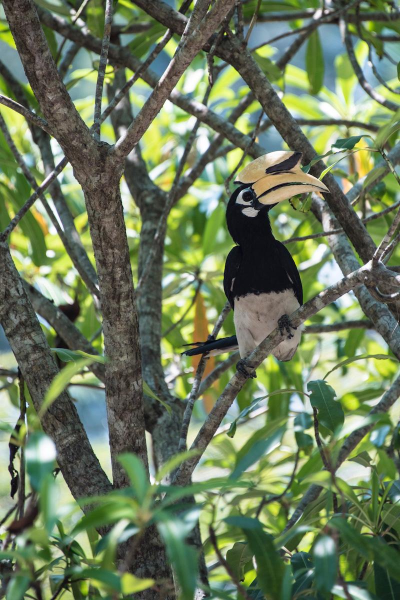 Koh Phayam Thailand hornbill