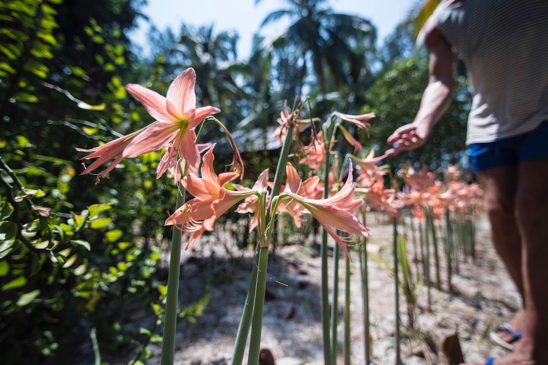 Koh Phayam Thailand Amaryllis