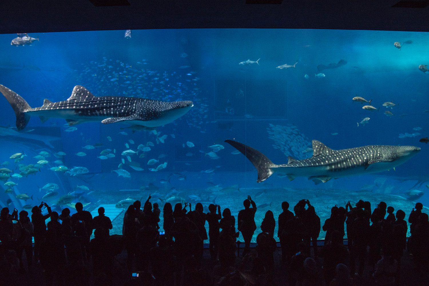 Whale sharks at Churaumi Aquarium in Naha Okinawa