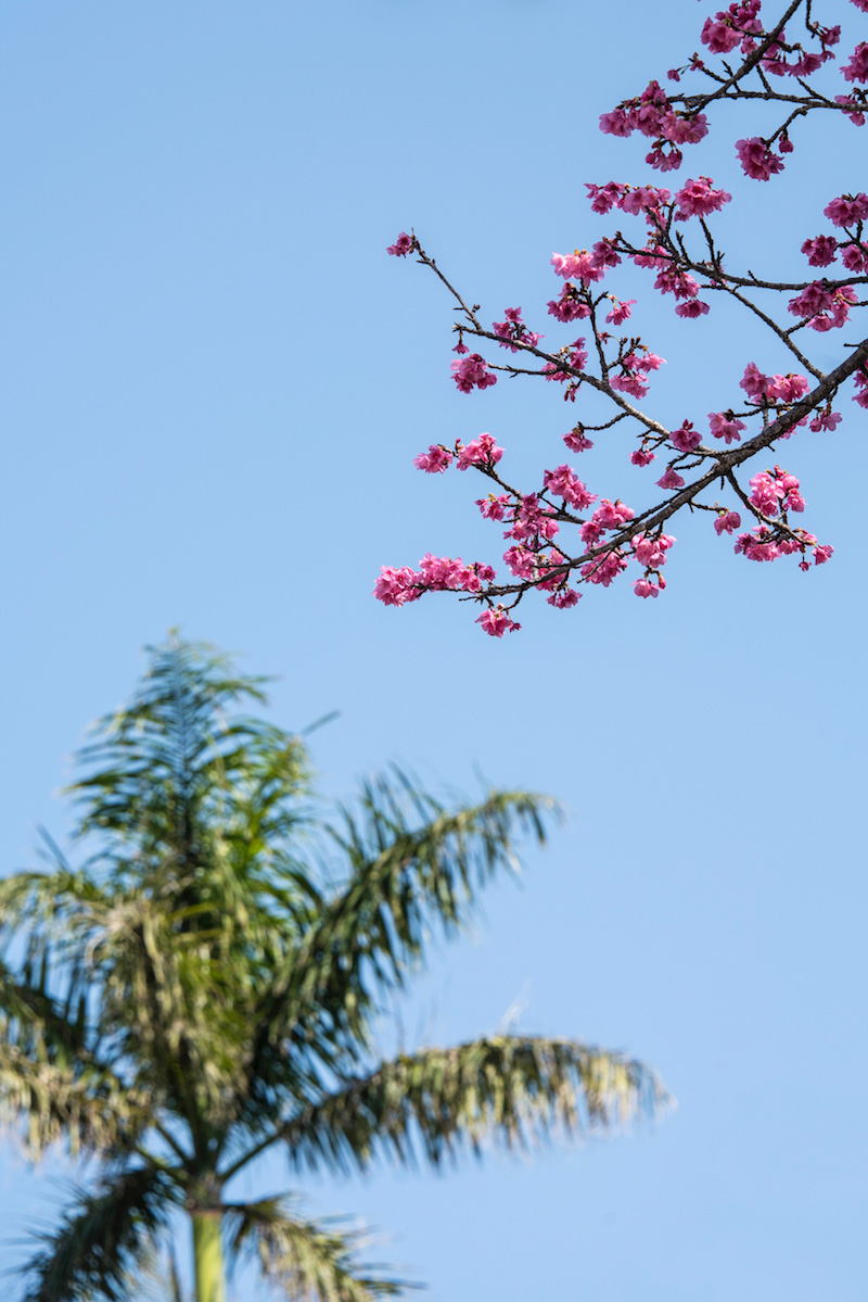 Cherry blossoms in Okinawa in winter