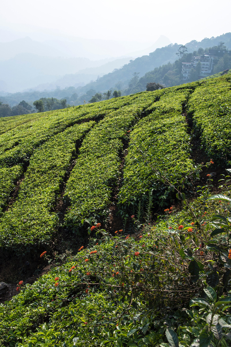 Tea fields in Munnar, India Kerala