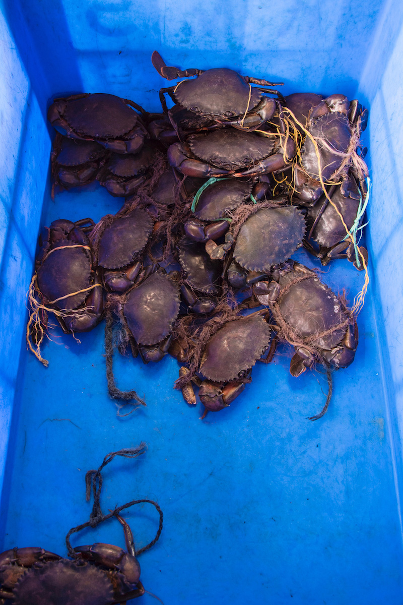 Mud crabs in Kerala, India