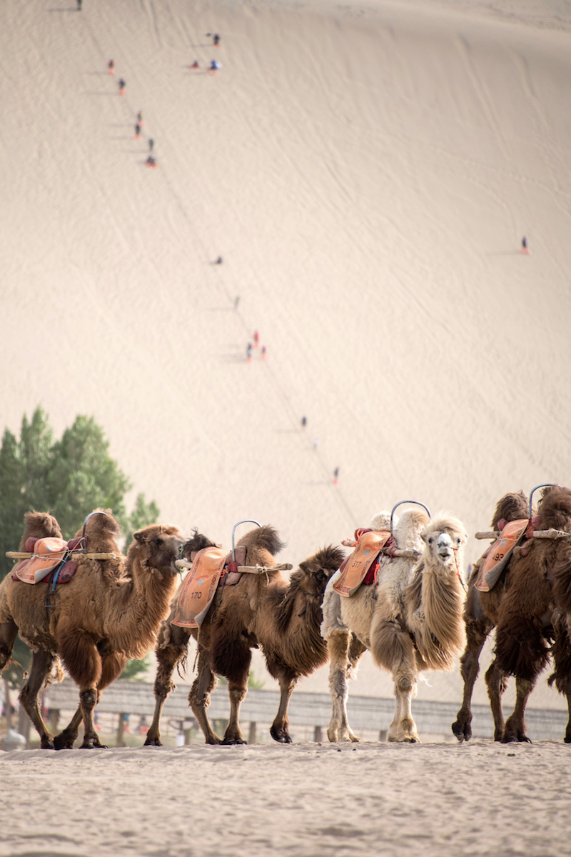 Camels in Gansu, China