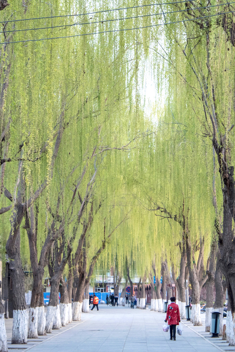 Willow trees in Gansu, China