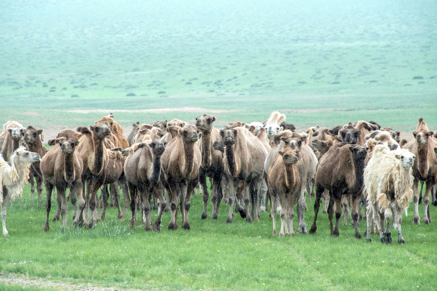 Camels in the Mongolian Gobi
