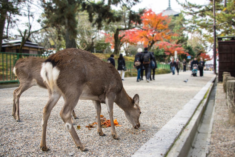 Osaka Japan in the autumn and Nara, Japan's deer city