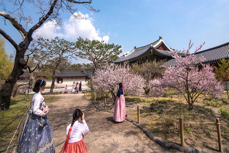 South Korea Cherry Blossoms